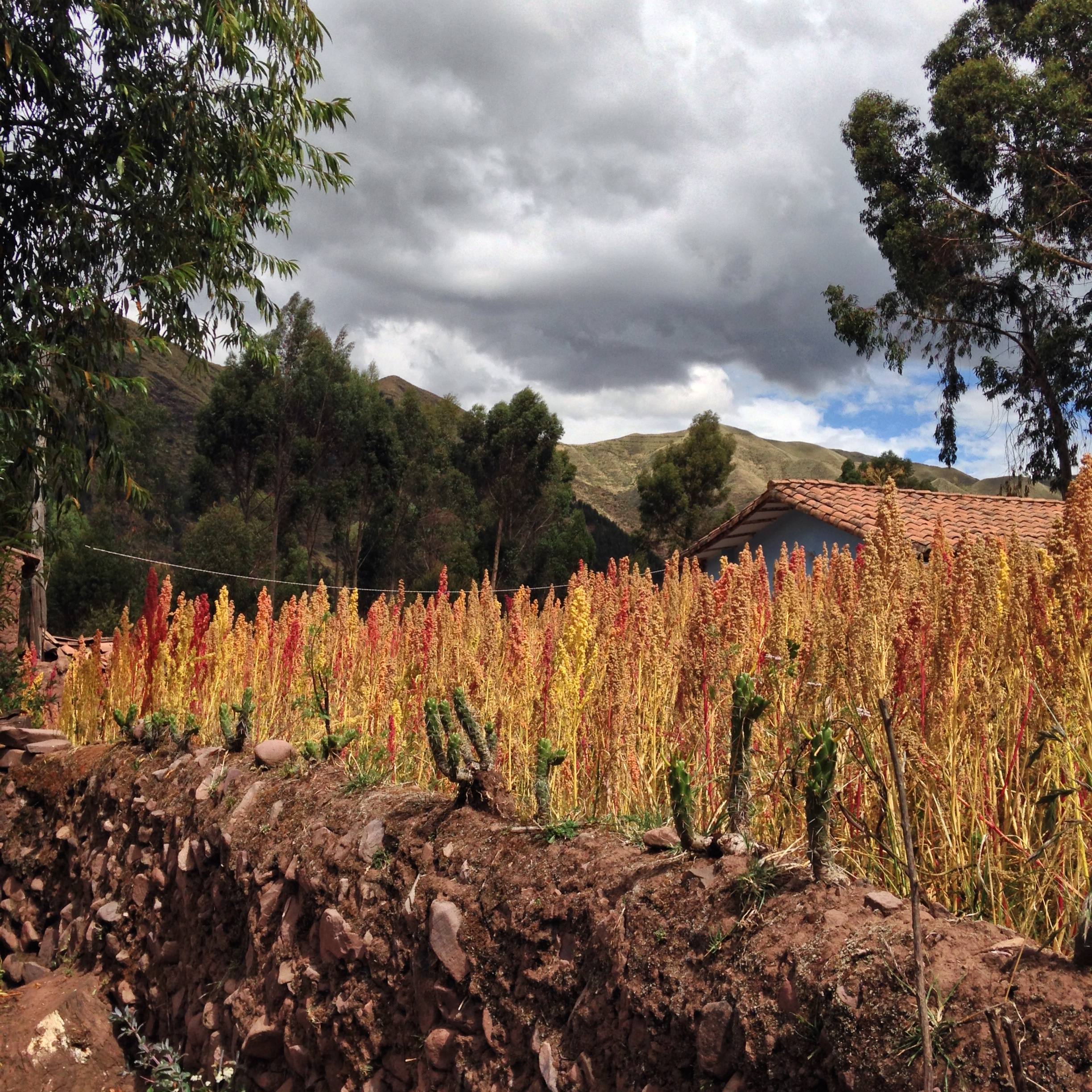 A field of Quinoa, something you'll eat a lot of in Cusco!