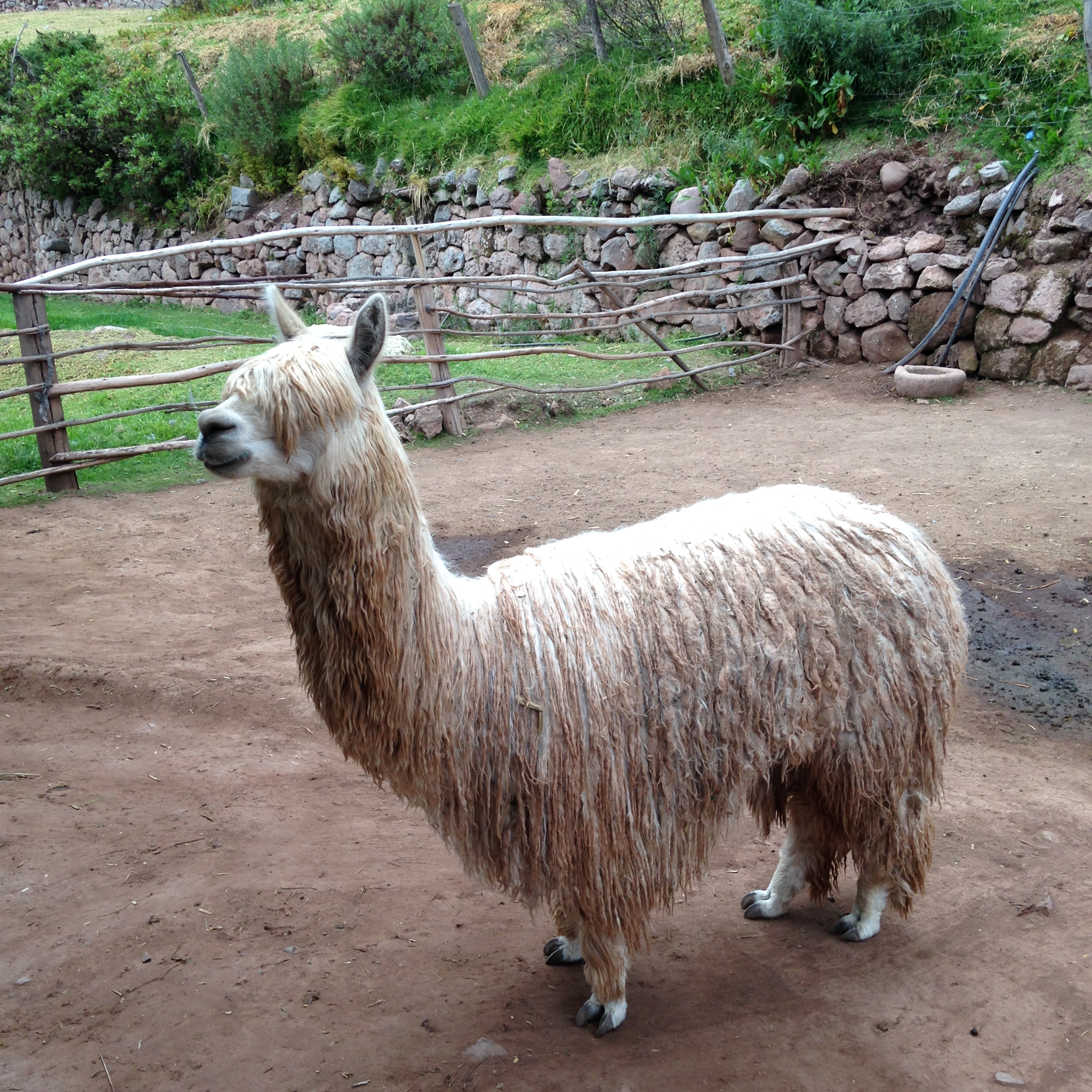 A llama! You'll become very familiar with llamas, alpacas, and Vicuñas.